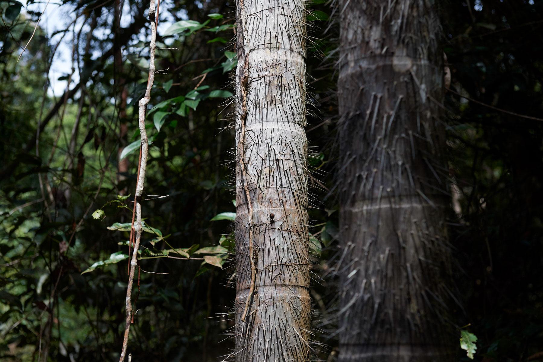 Nahaufnahme eines Baumgewächses mit dornigen Stacheln an seiner Rinde
