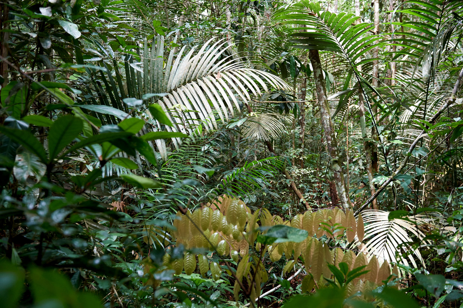 Foto zeigt den direkten Blick in den dichten, mit Farnen bewachsenen, grünen und stark bewachsenden Regenwald