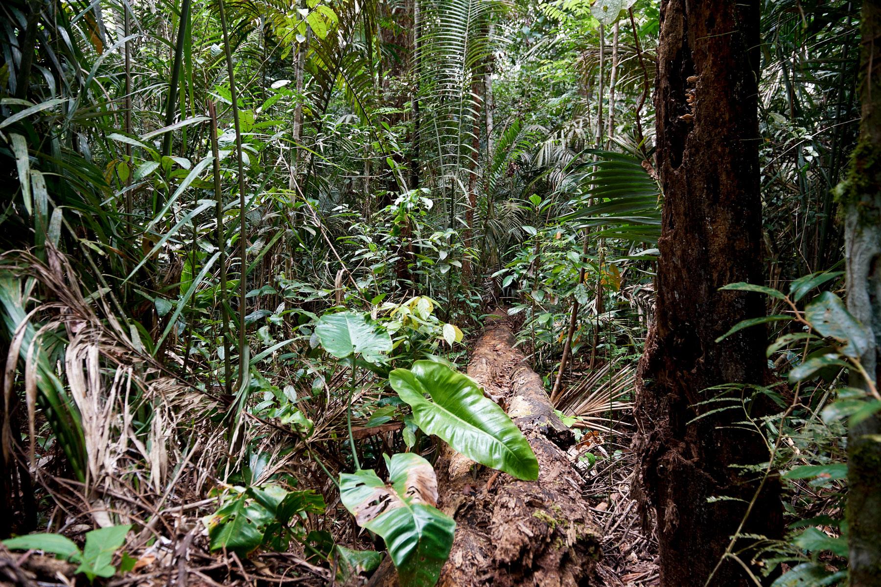 Foto zeigt den direkten Blick in den dichten, grünen und stark bewachsenden Regenwald