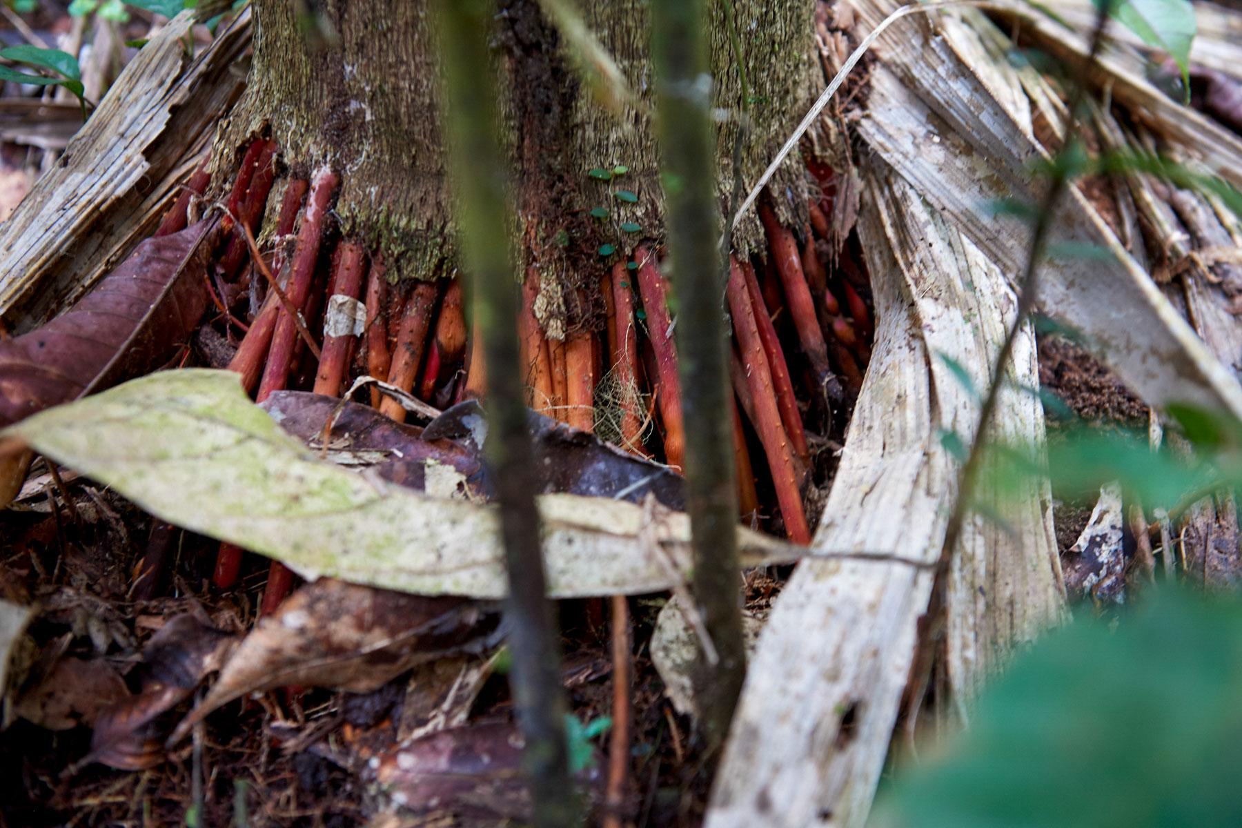 Nahaufnahme eines im Regenwald stehenden Baumes dessen Stamm auf vielen dünnen und rotgefärbten Wurzelsträngen besteht