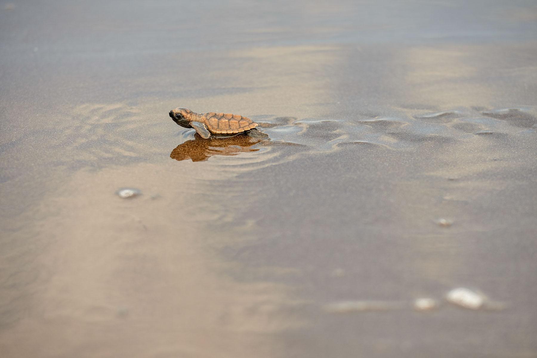 Foto einer Babyschildkröte, die zielstrebig hren Weg geht