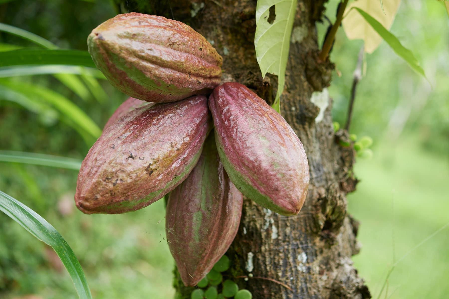 Foto mehrerer grünroten Kakaofrüchten am Baum