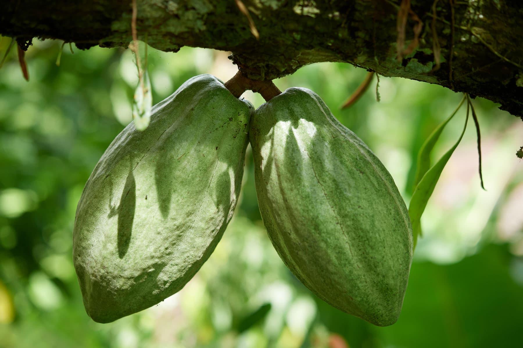 Foto von zwei grünen Kakaofrüchten am Ast hängend