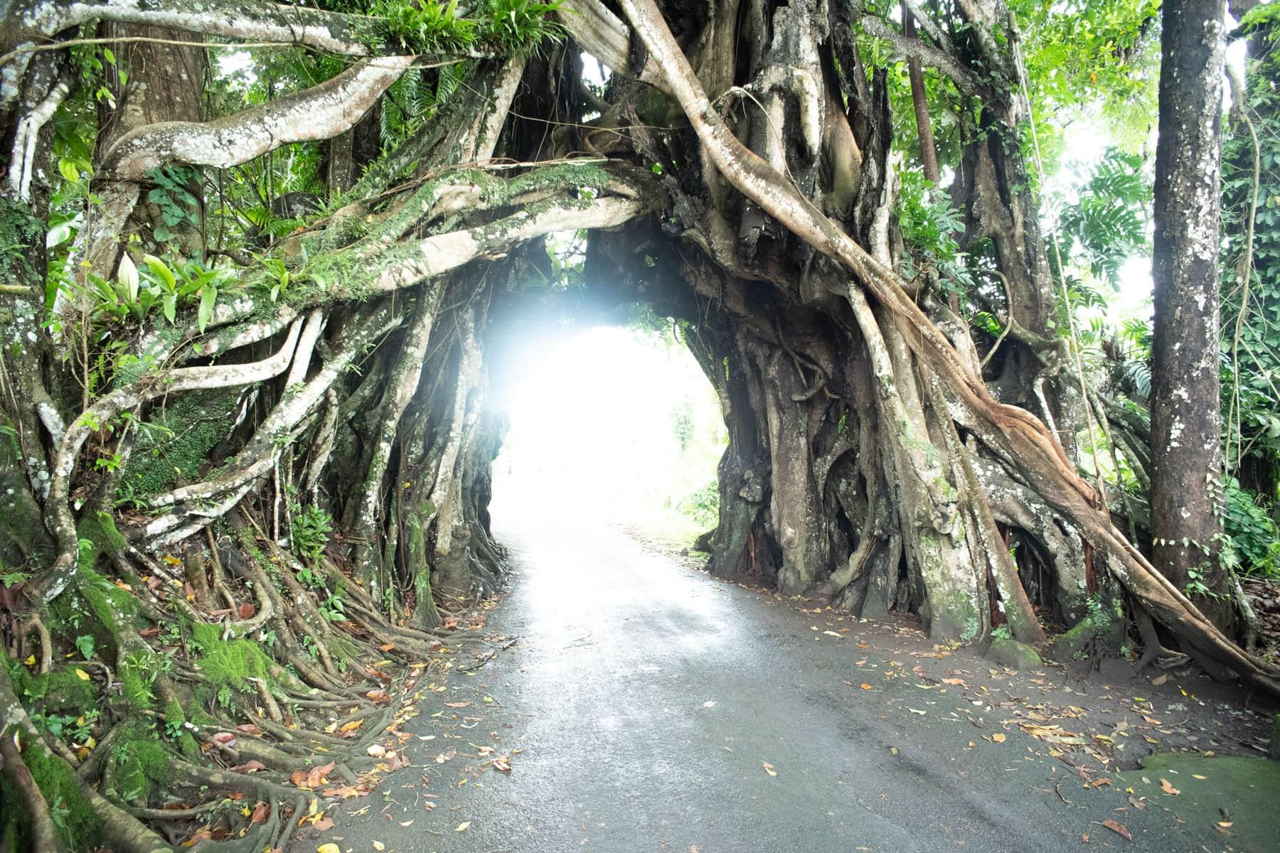 Das Bild zeigt eine Straßendurchfahrt unter einem riesigen Baumgewächs